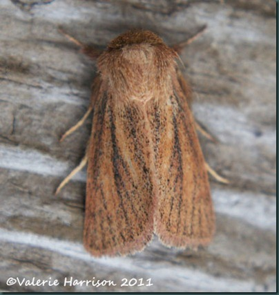 small-wainscot-2 (3)