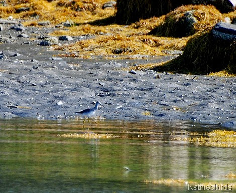 3. yellowlegs-kab