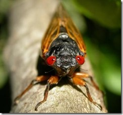 Billions-of-cicadas-to-swarm-East-Coast