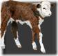 ABL_CowboyUp_Emb1_Calf
