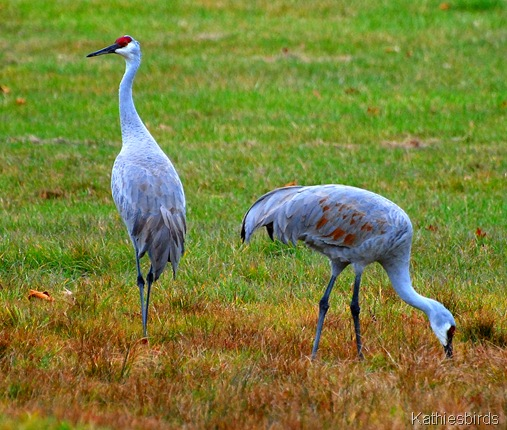 9. cranes eating-kab