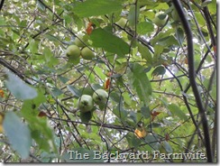 apple tree - The Backyard Farmwife