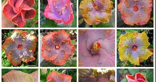 Varieties of HibisKiss™ brand hibiscus plants
