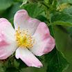 rosa canina.jpg