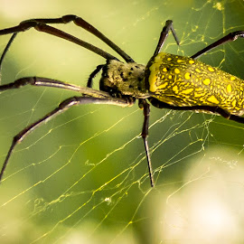 Samurai Spider by Amit Tekwani - Animals Insects & Spiders