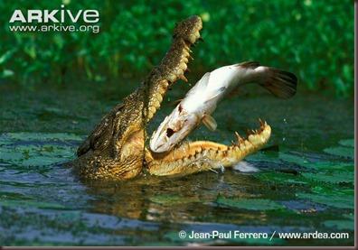ARKive image GES057627 - Saltwater crocodile