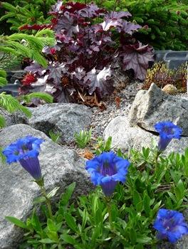 031 korr Gentiana angustifolia 'Frei' Heuchera Daniel Grankvist