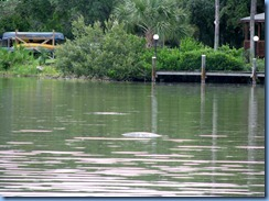 7924 private boat charter with Capt. Ron Presley  and his wife Karen - Banana River, Florida - sleeping Manatee