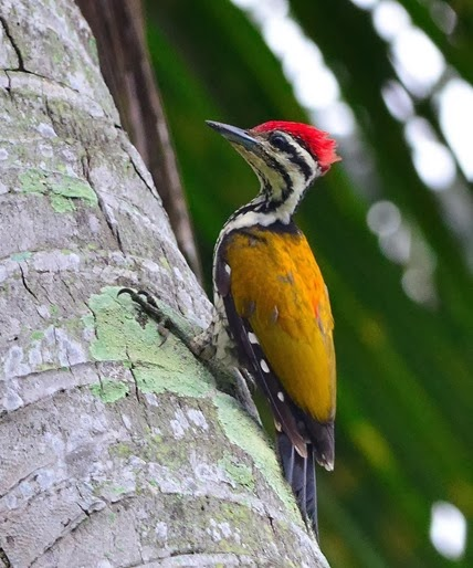 Amazing Pictures of Animals, Photo, Nature, Incredibel, Funny, Zoo, Greater Flameback, Chrysocolaptes guttacristatus, Bird,Alex (2)