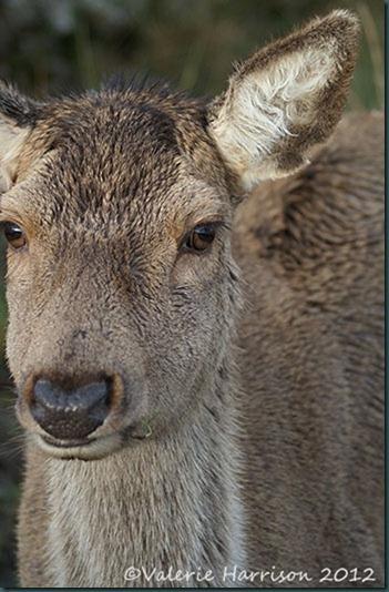 35-red-deer