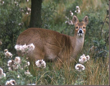 Amazing Animal Pictures Water Deer (3)