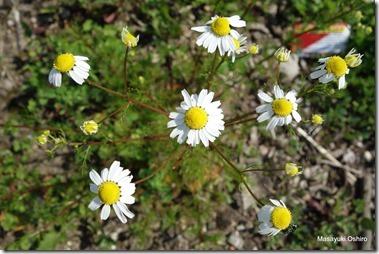 和名:カモミール 蘭名:Echte kamille 英: chamomile 学名:Matricaria recutita