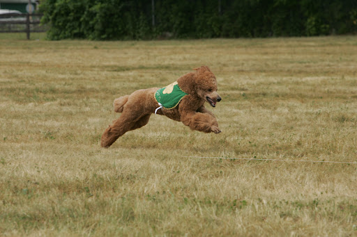 Finnegan is quite athletic and also is the first altered standard poodle to earn a UKC Lure Coursing title, as well as the first standard poodle ever to earn a lure Coursing title in the AKC