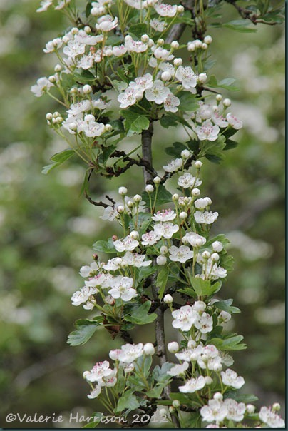 7-May-blossom