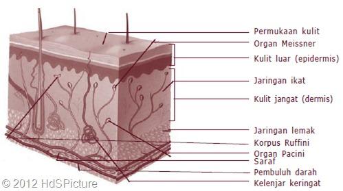 Gambar 1.4 Struktur anatomi kulit