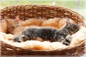 Фото история котят мейн кун в возрасте 7,5 недель 33