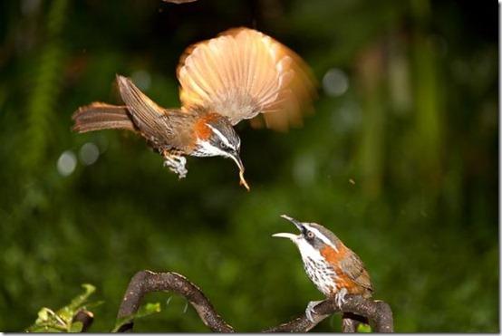 13bigstockPomatorhinusruficollis