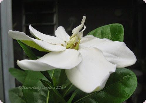 09-06-tahitian-gardenia