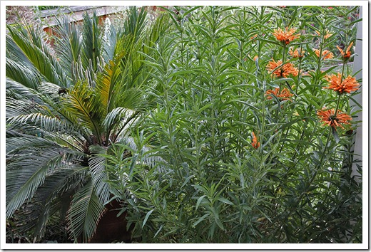 110707_frontyard_cycas_revoluta leonurus_leonotis