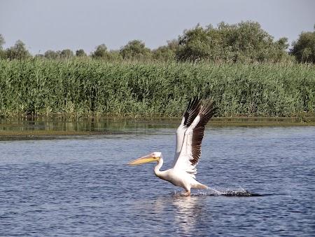 14. Pelican in Delta Dunarii.JPG