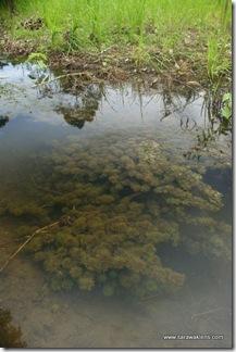 Limnophila_aquatic_plant_6