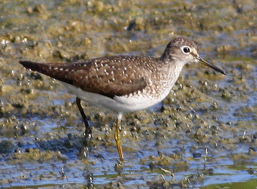 8-16-09, Fish hatchery, migrating Solitary Sandpiper, 9:16 a.m.