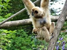 2014.07.19-003 gibbon lar et son petit