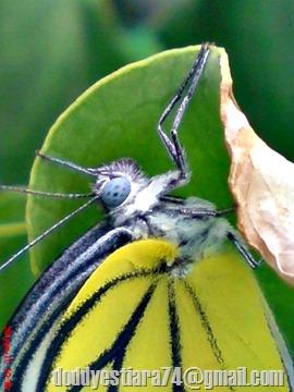 foto  kupu-kupu Painted Jezebel Delias hyparete