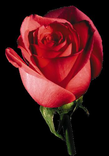 rose-rosa-botao