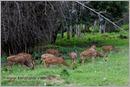 _P6A2078_cheetal_chital_deer_mudumalai_bandipur_sanctuary