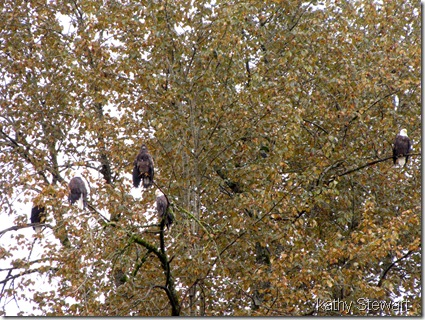Eagles in the Eagle Tree