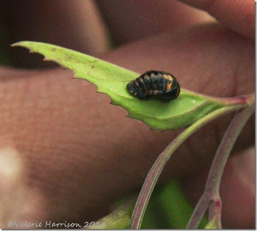 32-ladybird-cocoon