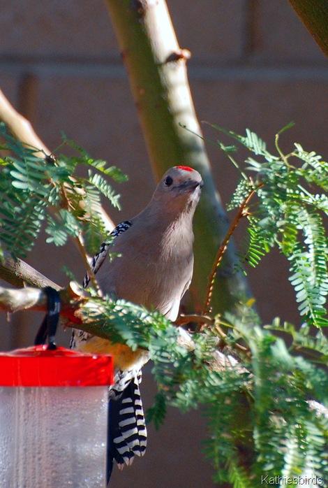 9-7-13 Gila Woodpecker-kab