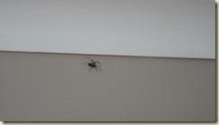 02.Araña primaveral