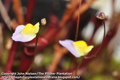Utricularia_flowers_2