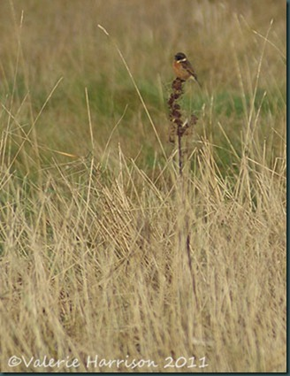 4-stonechat