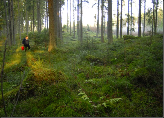 suomalainen syys metsä suppilovahvero 054