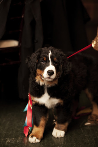 During our wedding, we received the most wonderful surprisea Bernese Mountain Dog puppy! We named her Winter.