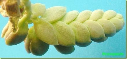 Pachyphytum oviferum retro infiorescenza cincinno