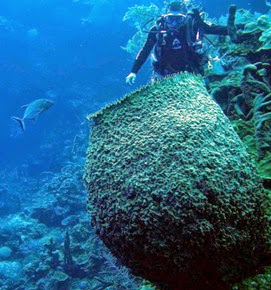 porifera-sponges