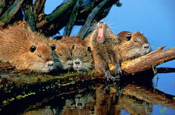 A litter of young nutria. Nutria are an invasive species in Louisiana. Photo: John Eastcott and Yva Momatiuk / National Geographic
