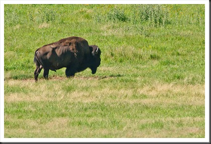 2011Jul31_Custer_State_Park_bison-3