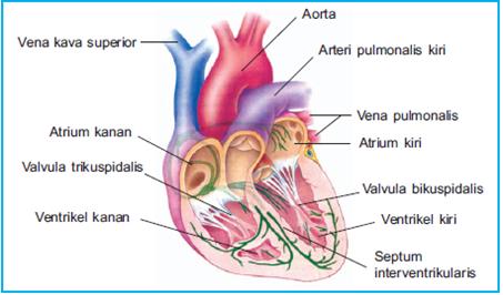 bagian bagian jantung
