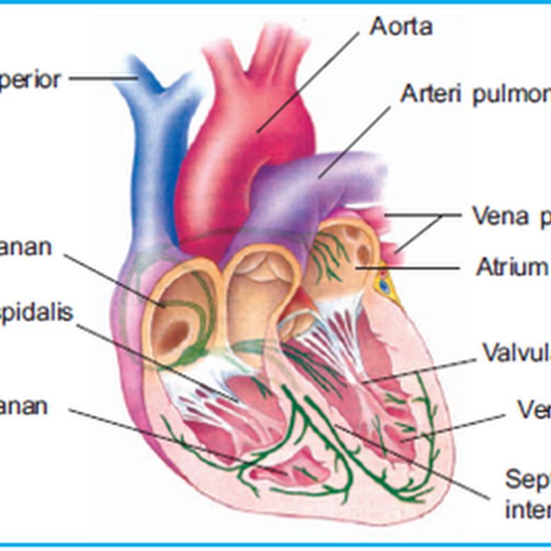 Sistem Peredaran Darah Manusia , Alat Peredaran Darah