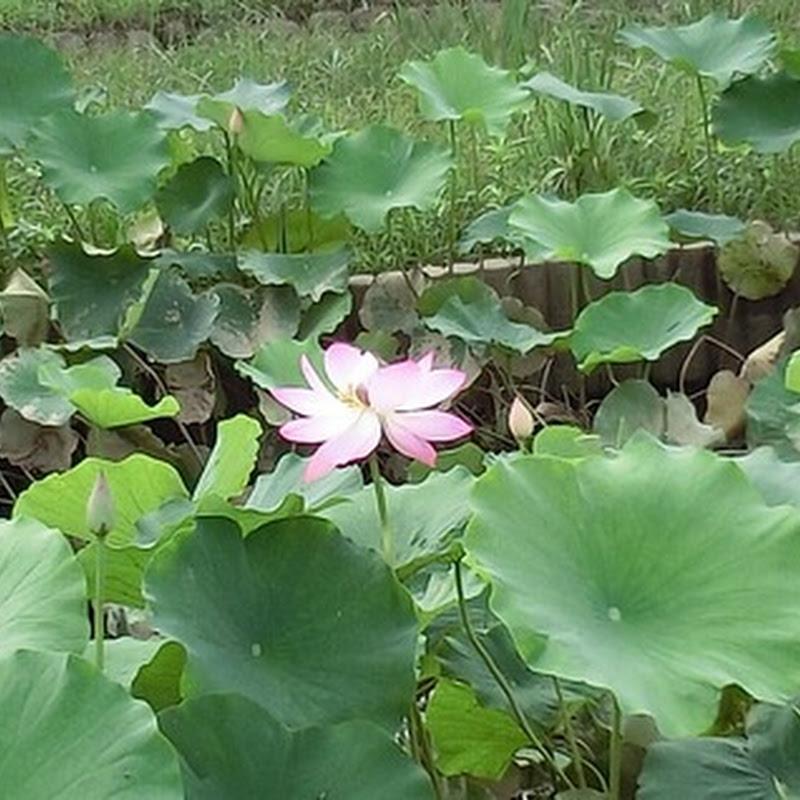 Photo : 蓮の花(たぶん)とか(72候 蓮始開 記念)