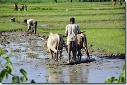 kajuraho varanasi 040 travail dans les rizieres