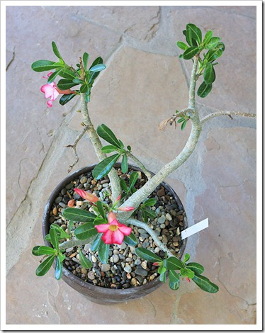 Desert rose in bloom