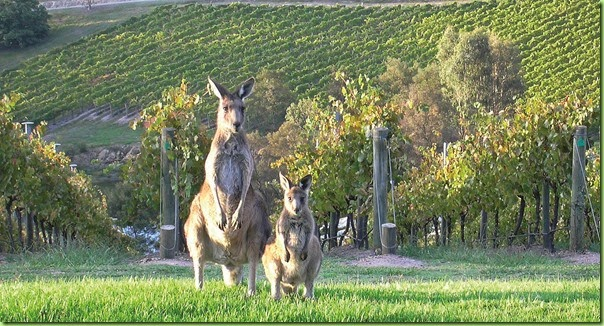 roos_in_vineyard