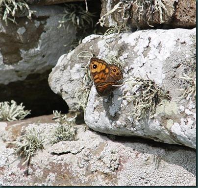 74-Wall-Butterfly