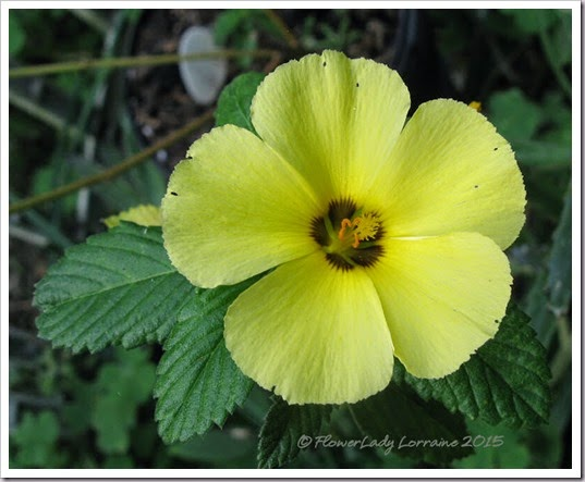 01-15-cuban-buttercup